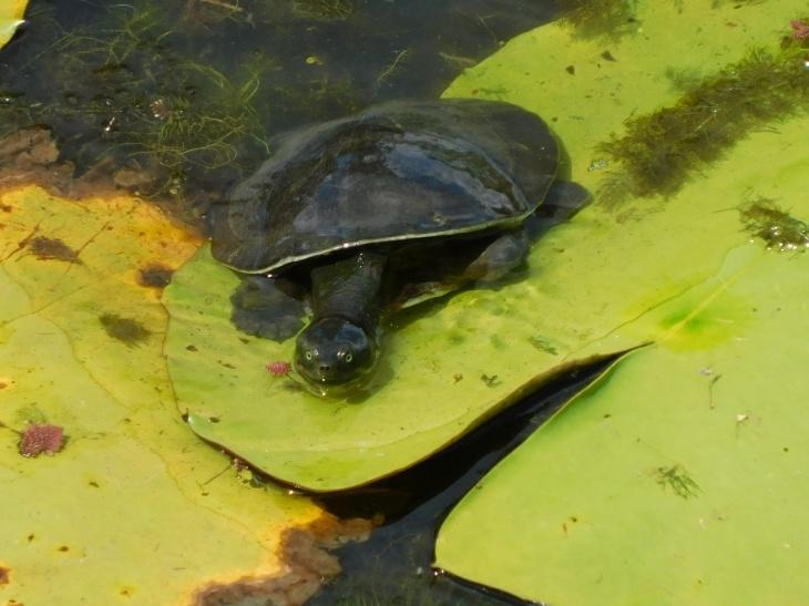 Tyto Wetland- Kreffts Turtle