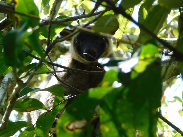 Wild Tree Kangaroo- Yungaburra (2)