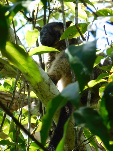 Wild Tree Kangaroo- Yungaburra (3)