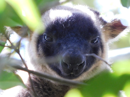 Wild Tree Kangaroo- Yungaburra