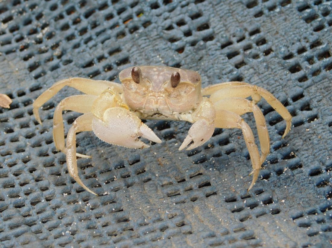 Inskip- crab under tent