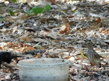 Cape Hillsborough- Birdbath (4)