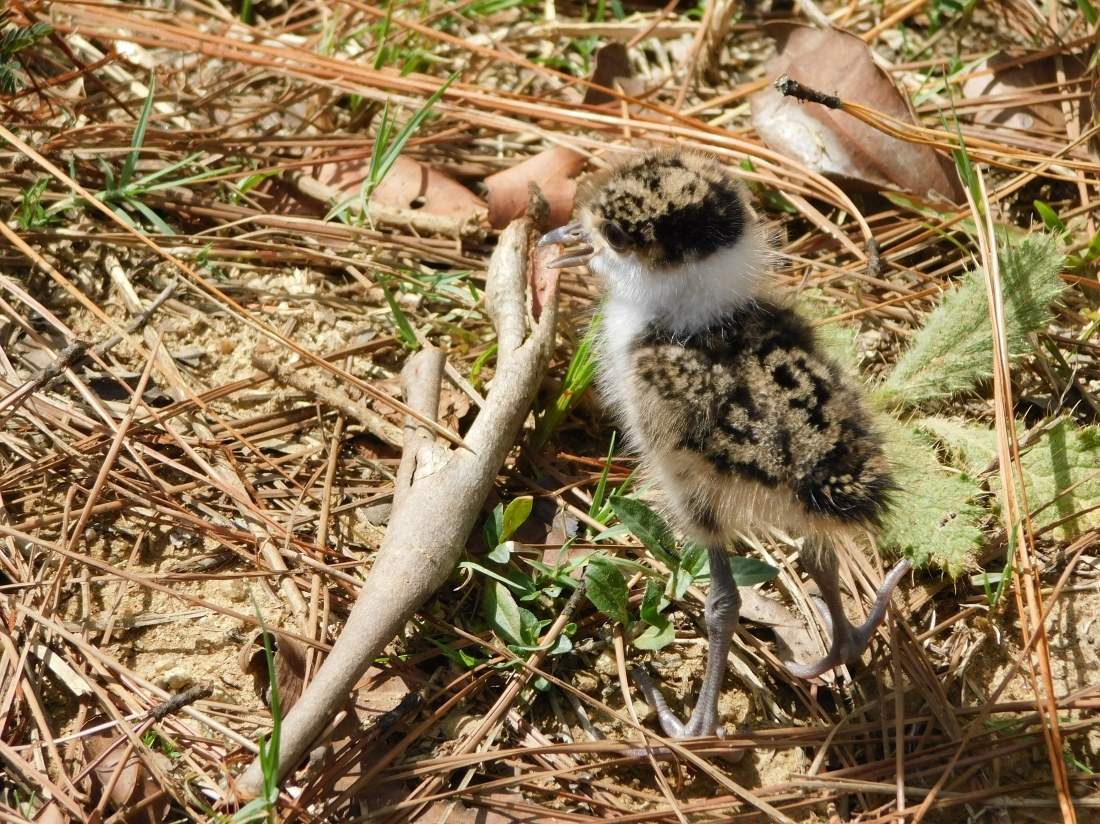 Mia Mia State Forest- Baby Plover