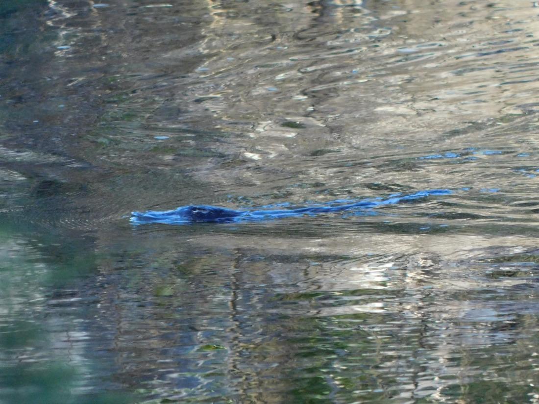 Mia Mia State Forest- Platypus (2)