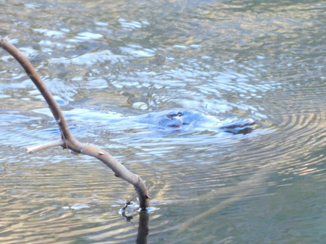 Mia Mia State Forest- Platypus